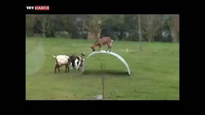 Keçilerin komik denge oyunu