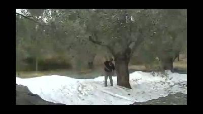 Edremit Körfezi'nde zeytin hasadı - ÇANAKKALE