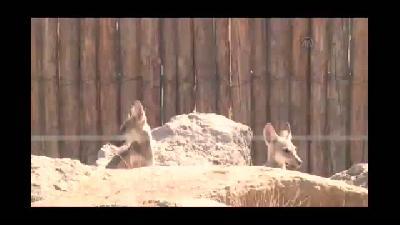 Kurt yavruları hayvanat bahçesinin yeni maskotu