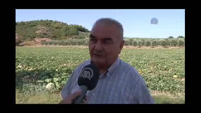 Kırkağaç kavunu hasatına başlandı - MANİSA