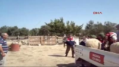 Ezine'de Jandarmadan Hayvan Hırsızlarına Operasyon