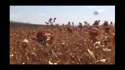 İç Anadolu'da aspir hasadı - KIRŞEHİR