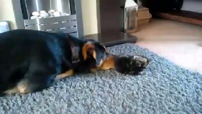 Patisi büyüklüğündeki kediyle oyun oynamaya çalışan dev köpek