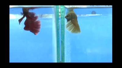 """Endonezya'da """"en güzel balık"""" yarışması - CAKARTA"""