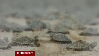 Kaplumbağalar nasıl iletişim kuruyor?