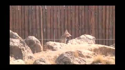 Kurt yavruları hayvanat bahçesinin yeni maskotu oldu - KAYSERİ