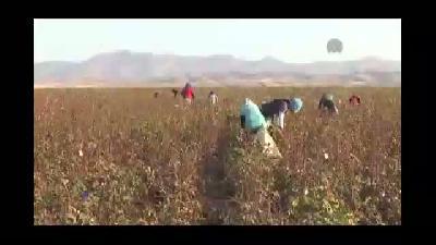 Kızlar Cudi Dağı eteklerinde pamuk topluyor - ŞIRNAK