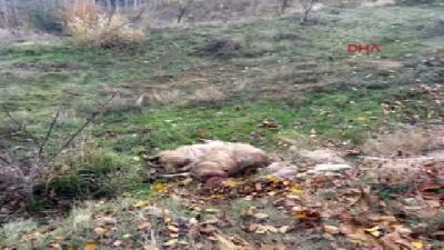Antalya'da Ağıla Giren Kurtlar 13 Koyunu Telef Etti