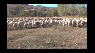 Kurtlar, 136 küçükbaş hayvanı telef etti - BAYBURT